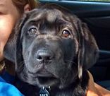 female black lab Ithaca