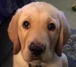 male yellow lab Walnut